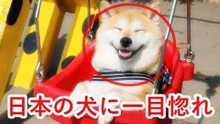 【海外の反応】可愛い! 海外で日本犬が大人気に! 外国人「やっぱ日本...