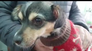 Собака Альма в клинике. / Видео