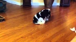 Logan Cavalier King Charles Spaniel And The Paper Plate