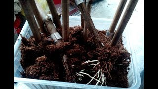 проращивание черенков. Гетероауксин. Образование корней при передозе. Виноград центр / grapes center