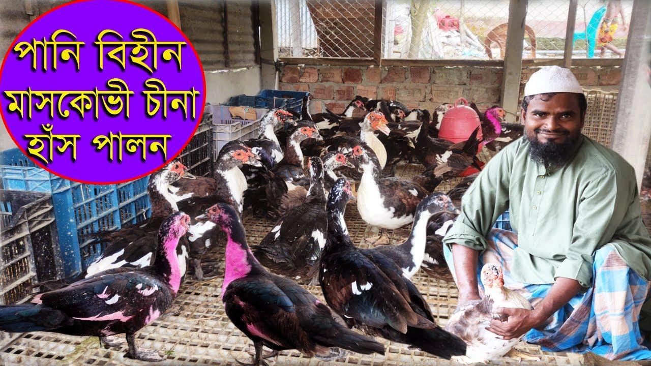 Download বাংলাদেশে পানি বিহীন চিনা হাঁস পালন।।৩০০হাঁস পালন করে মাসে আয় ৫০হাজার টাকা।।muscovy duck farming