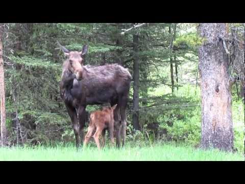 Yellowstone Moose and Calf