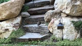 Baby Quail Climbing Stairs