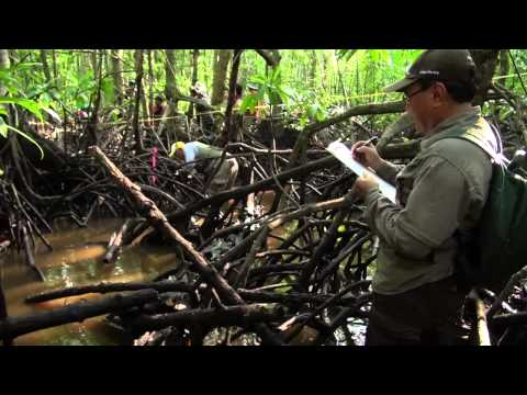 Dirty Science Part 2: As tides rise higher, can mangroves hold on? Researchers dig in to find out