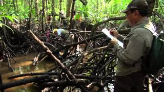 Dirty Science Part 1: Excavating the truth about mangroves and carbon