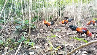 The Youngest Way To Catch a red junglefowl, Easy to Practice   wala meron