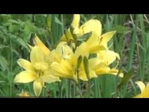 Растение алтей лекарственный » Популярно о здоровье
