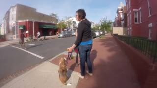 Beltway Dog Training DC Beagle Nero Lessons 1 and 2