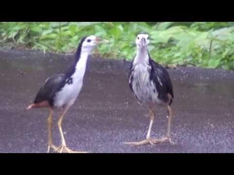 雨中情侣:白腹秧鸡[Amaurornis phoenicurus] White-breasted waterhen