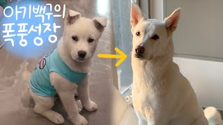 How fast will Jindo dogs grow? / Jindo Dog Growth Process