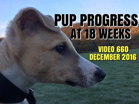 LURCHER PUP PROGRESS AT 18 WEEKS OLD