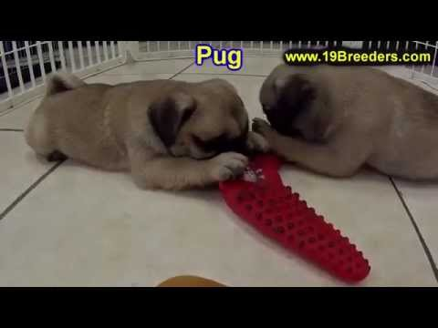 Pug, Puppies, Dogs, For Sale, In Chicago, Illinois, IL, 19Breeders, Rockford, Naperville, Peoria