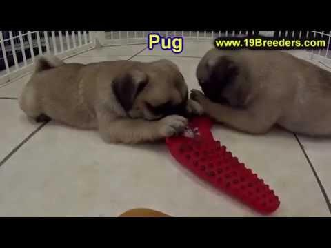 Pug, Puppies, For, Sale, in, Mobile, County, Alabama, AL, Huntsville, Morgan, Calhoun, Etowah, Houst