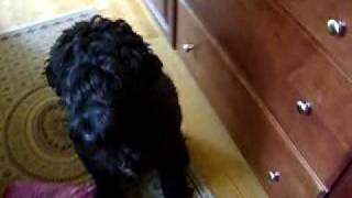 Portuguese Water Dog - Dexter