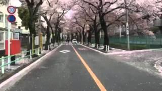 Sakura Fubuki (Cherry blossom blizzard)