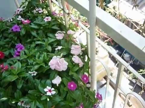 Trồng hoa thủy canh tĩnh trong thùng xốp tại nhà