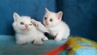 Голубоглазые котята.