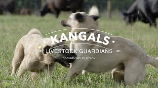 ALL ABOUT THE KANGAL DOG: THE FINEST GUARDIAN DOG
