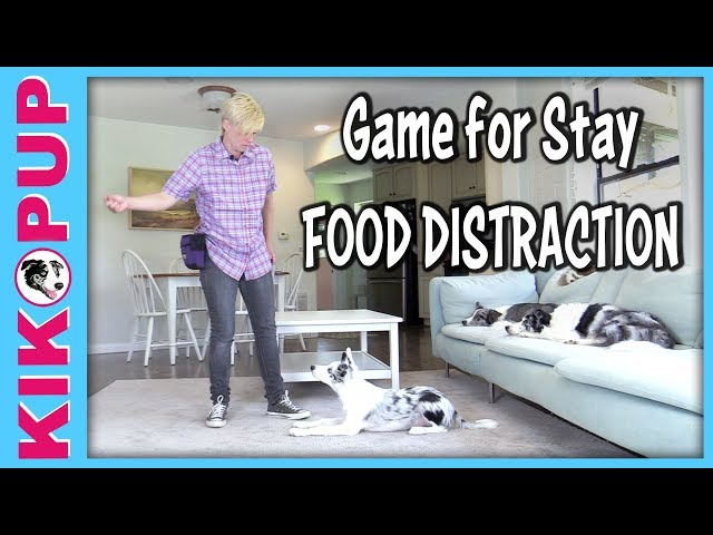 Stay with food distractions - Down stay sit stay