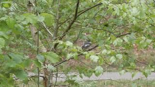 20190426 1 Hezingen Bonte Vliegenvanger mannetje zingend