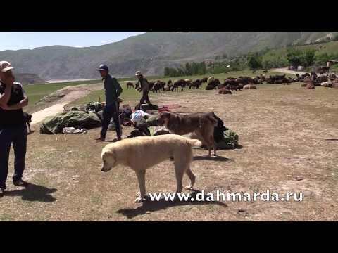 видео: Чабаны из селения Чимгилиш Кабадиянского района по пути в Рашт