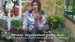 Kirskål - ogräs i trädgården. Så lyckas du få bort den!
