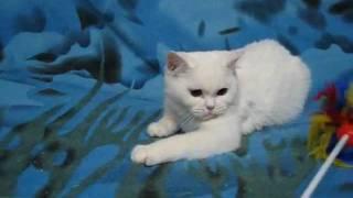 Белая шотландская кошечка страйт Изабелла