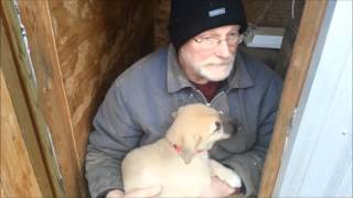 Livestock Guardian Dogs, Puppies 9 Weeks Old
