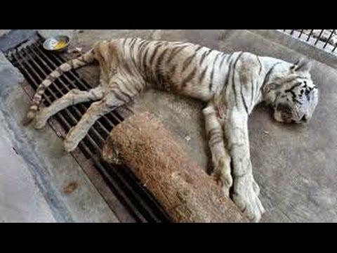 Harimau Putih KBS Mati - YouTube