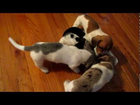 5 Week Old Miniature Dachshund Puppies Playing - 3/26/12