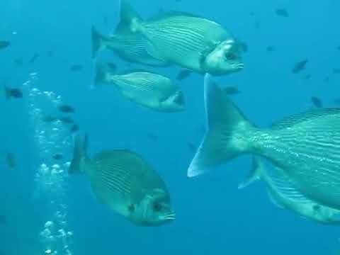 Dorades Grises  Mediterranee Fish