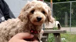 Paris Toy Poodle For Adoption