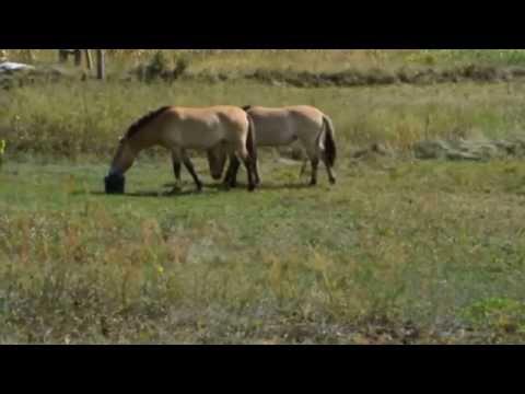 Вопрос: Кто завез лошадей Прежвальского в заповедник Аскания Нова?