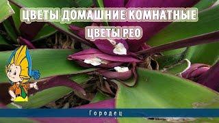 Цветы домашние комнатные.Цветы Рео(, 2015-03-18T08:02:01.000Z)