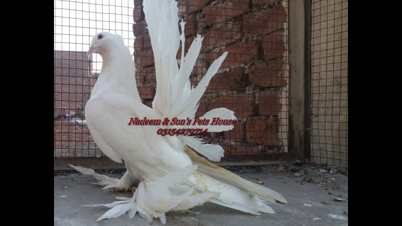 Giant Size Pure White American Fantail Pigeon Breeding Setup By Nadeem Son S Beautiful Fancy