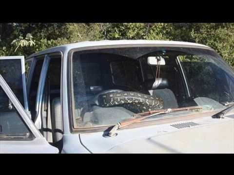 Rụng rời chân tay khi phát hiện con trăn dài gần 3m nằm trong xe