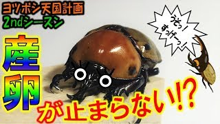 クワガタ&カブトムシ+昆虫採集 止まらない産卵!?ヨツボシヒナカブト...