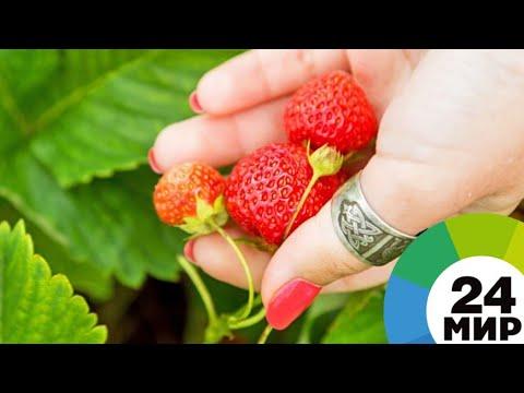 Вкусная и ароматная: на рынках Армении появились ранние сорта клубники - МИР 24
