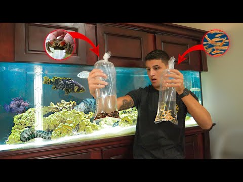 Feeding RED CLAW CRABS To My EXOTIC FISH!!