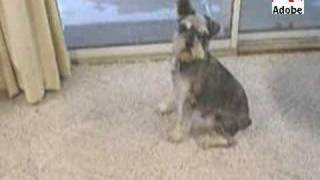 Slater Look At Those Ears Mini Schnauzer