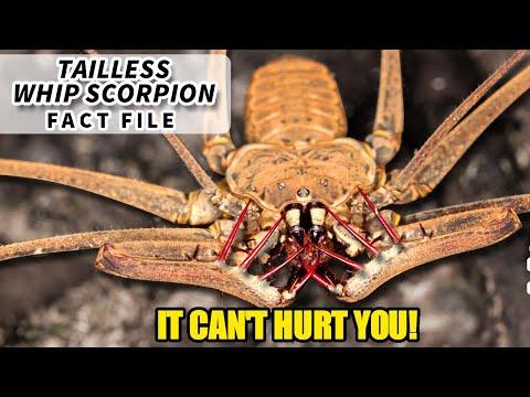 Tailless Whip Scorpion | Animal Fact Files