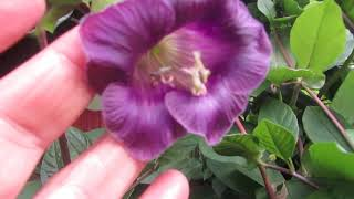 Закрыться от соседей просто! Супер лианы в саду у Ольги!