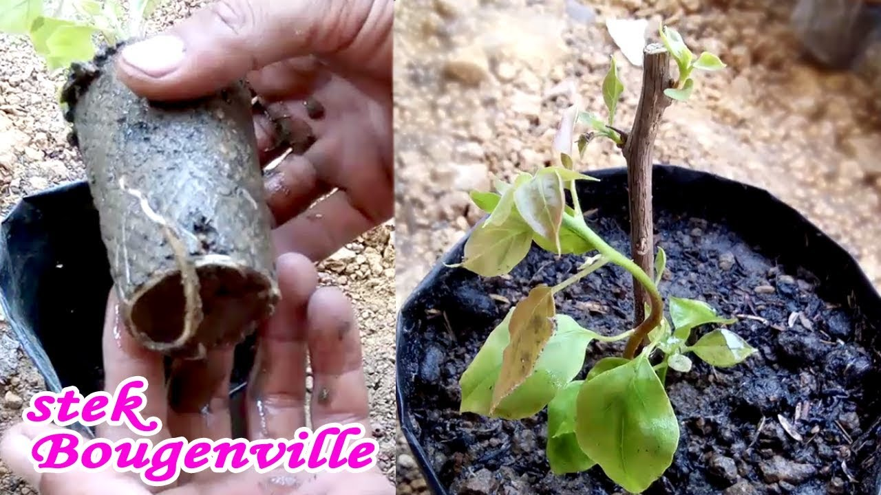 2 Minggu Sudah Tumbuh Akar Stek Batang Bunga Kertas Bougenville How To Cuttings Youtube Cara budidaya bunga kertas