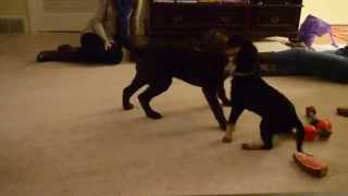 Puppies Playing - Lab Hound Mix Vs. Chesapeake Bay Retriever