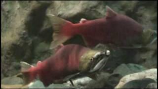 「ベニザケ」を展示 おたる水族館 《小樽ジャーナル・OTV》