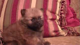 Look! Teddy Bear Pom Pomeranian- Teacup Baby Dog- Houston Texas- In Love