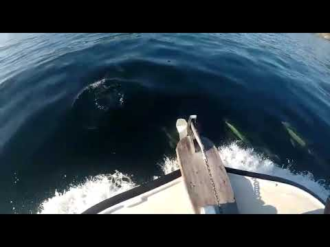 Una manada de delfines nada en la ría de Viveiro