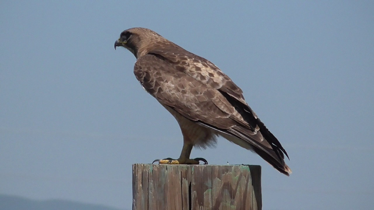 Red Tailed Hawk To Compare With Golden Eagle