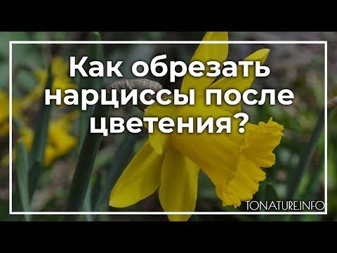 Как обрезать нарциссы после цветения? | toNature.Info