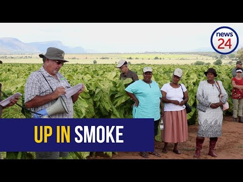 WATCH: 10 000 Tobacco farming jobs on the line due to illicit cigarettes